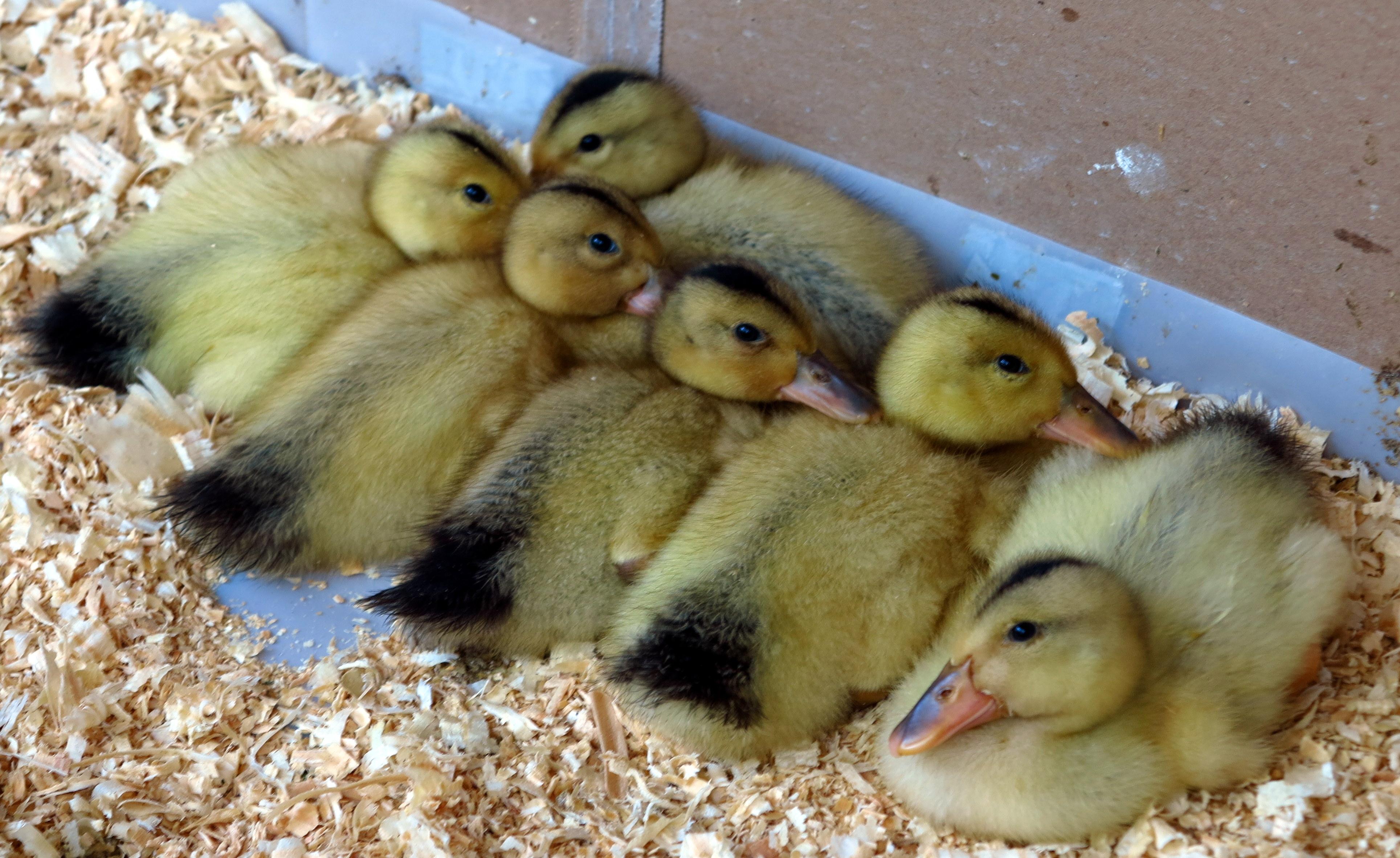 the ducks glenalmus farm